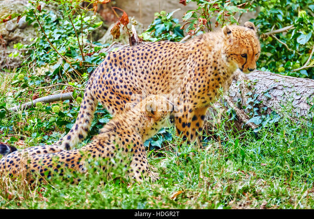 Couple of Cheetah (Acinonyx jubatus) is a big cat in the subfamily Felinae that inhabits most of Africa and parts - Stock Image