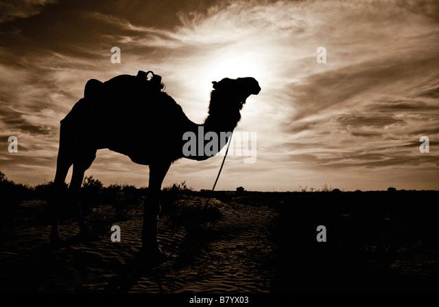 Silhouetted camel, Sahara Desert, Douz, Tunisia - Stock Image