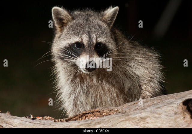 Raccoon at night in Texas - Stock Image
