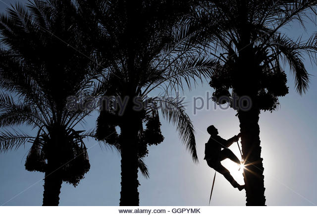 A Palestinian farmer harvests dates from a palm tree in Deir al-Balah in the central Gaza Strip September 29, 2013. - Stock-Bilder
