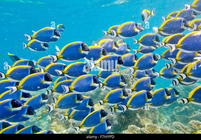 Maldives Island - underwater view, shoal of fish - Stock Image