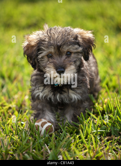 A schnoodle puppy with a ball at his feet. - Stock Image