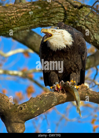 American Bald Eagle with Fish - Stock-Bilder