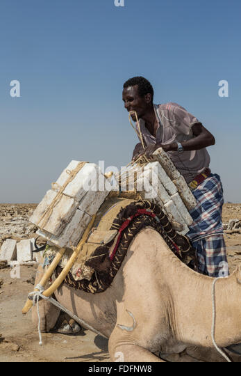 A man ties neatly-finished blocks of salt to a camel near Dallol in Ethiopia for transport to the nearest town. - Stock Image