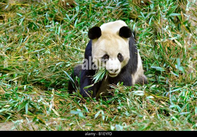 Giant Panda feeding on Bamboo leaves - Stock Image