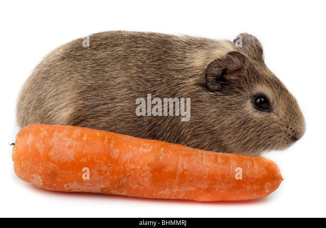 Guinea pig with carrot in studio against a white background. - Stock Image