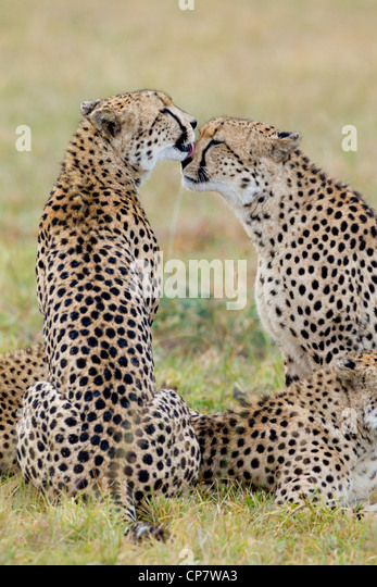 Cheetah brothers (Acinonyx jubatus) grooming each other in South Africa - Stock Image