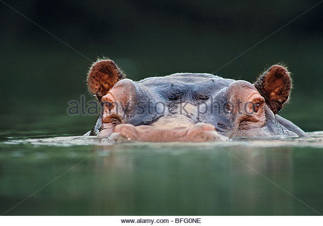 Hippo at waterline, Hippopotamus amphibius, Garamba National Park, Democratic Republic of Congo - Stock-Bilder