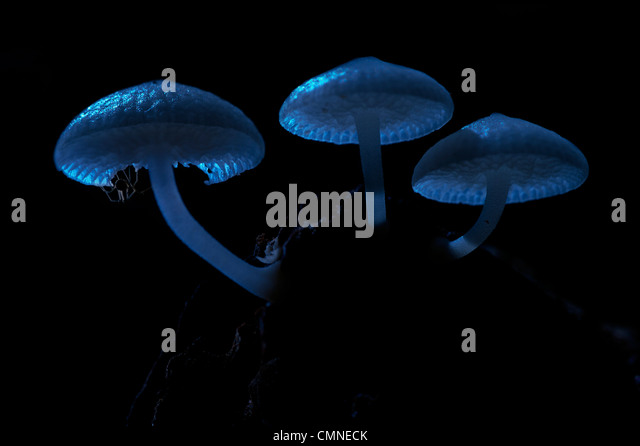 Luminous Fungi by moonlight, with small spider resting on underside. Montane mossy heath forest (kerangas), Maliau - Stock Image