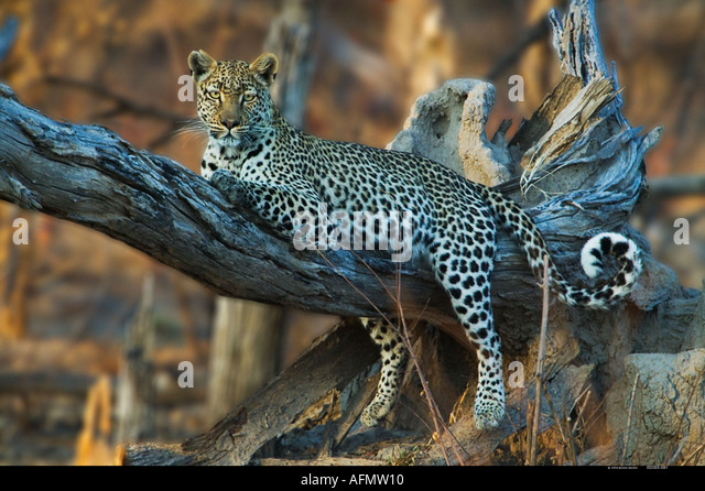 Leopard resting in tree Khwai Botswana - Stock Image