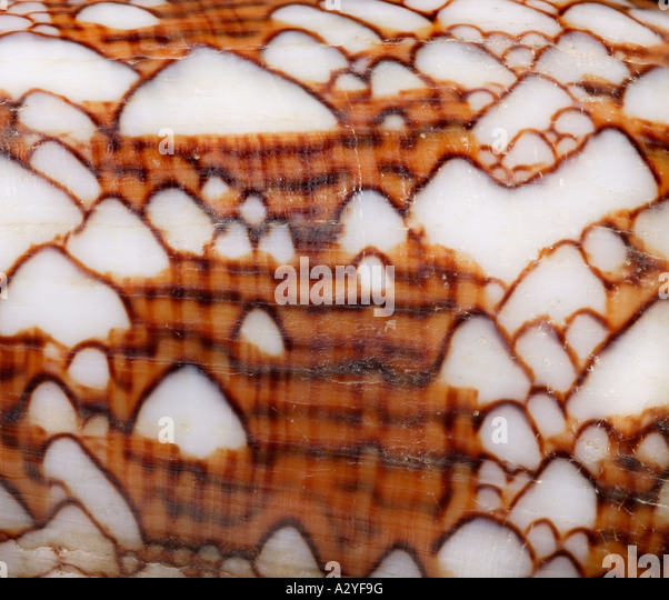 Conus textile textile cone - Stock Image