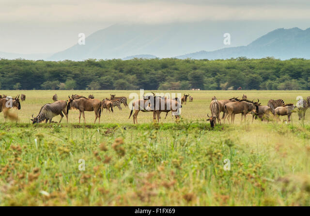 Lake Manyara safari Tanzania Wildebeast and Zebra graze - Stock-Bilder