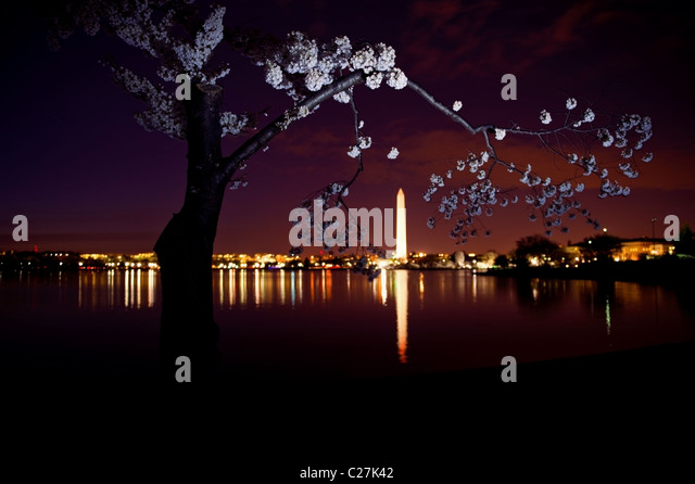 Washington DC at night with blooming cherry blossoms and the Washington Monument in the background - Stock Image