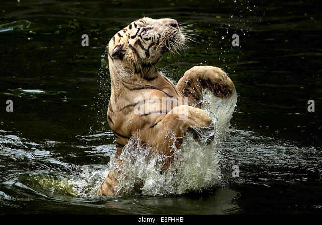Indonesia, Depok, Tiger jumping from water to catch food - Stock Image