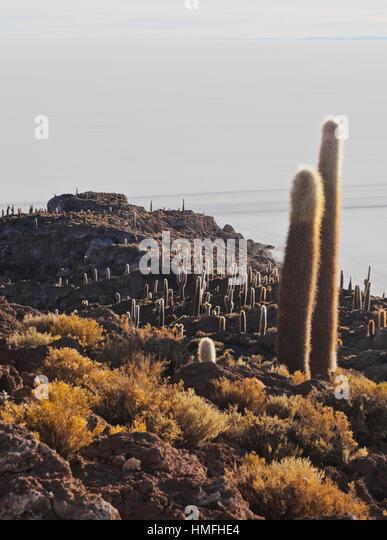 View of Incahuasi Island with its gigantic cacti, Salar de Uyuni, Daniel Campos Province, Potosi Department, Bolivia - Stock Image