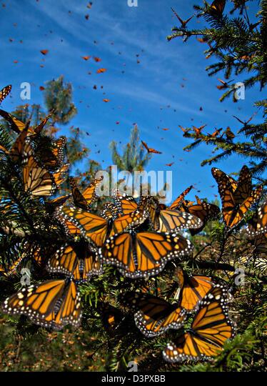 Monarch Butterflies mass in the Sierra Pellon mountain at the Monarch Butterfly Biosphere Reserve in Sierra Pellon - Stock-Bilder