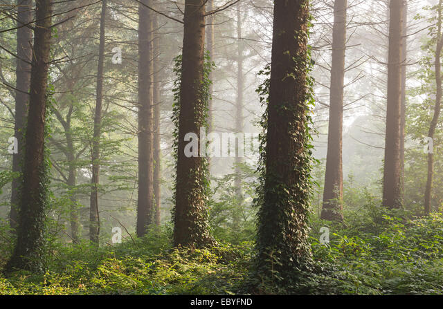 Pine forest with early morning sunlight, Morchard Bishop, Devon, England. Autumn (September) 2014. - Stock-Bilder