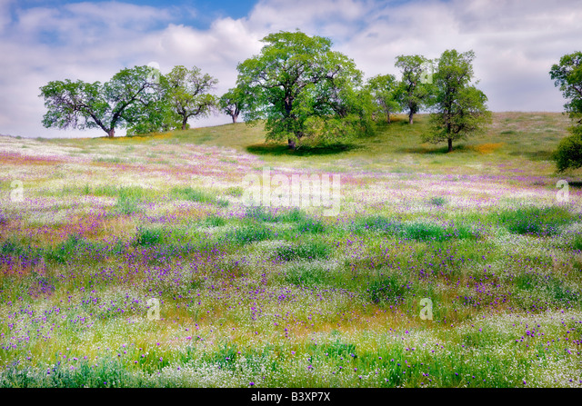 Mixture of wildflowers with oak trees Kern County California - Stock-Bilder