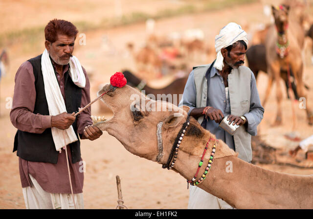 camel and livestock fair Pushkar Fair or Pushkar Mela, Pushkar, Rajasthan, India, Asia - Stock-Bilder