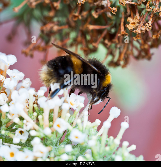 A Humble Bumble Bee Seeking Nectar and Feeding on a White Buddleja Flower in a Cheshire Garden - Stock Image