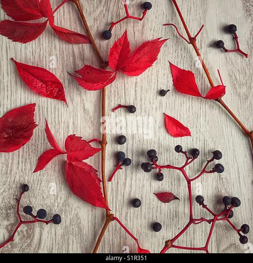 Red autumn leaves and berries on white stained wood - Stock Image