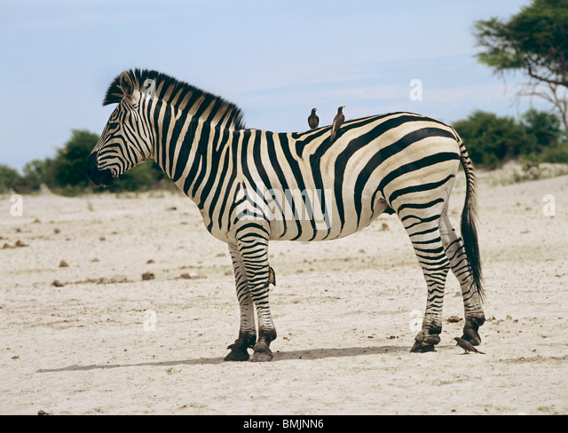 symbiosis: Plains Zebra with oxpeckers on its back / Equus quagga - Stock Image