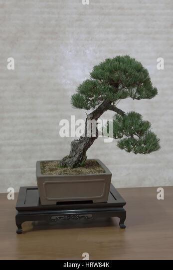 Bonsai tree,white pine. - Stock Image