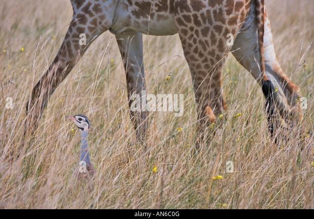 Giraffe and Black-bellied Bustard (Lissotis melanogaster) in the grass, Masai Mara, Kenya - Stock Image
