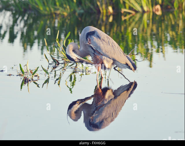 Great Blue Heron in a Lake with Reflection - Stock Image