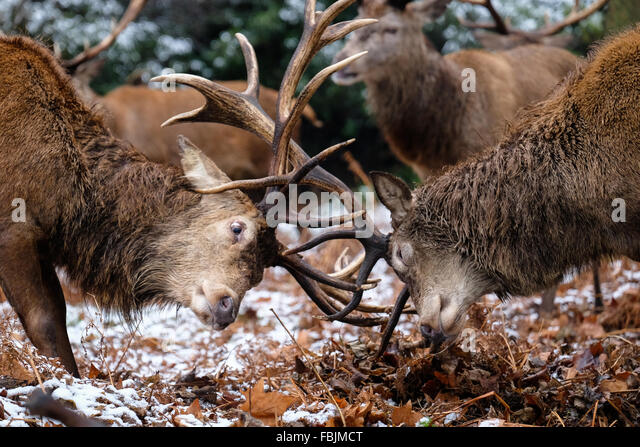 London, United Kingdom. 17th January, 2016. A heated moment: Red deer stags sparring on snow-covered grounds in - Stock Image