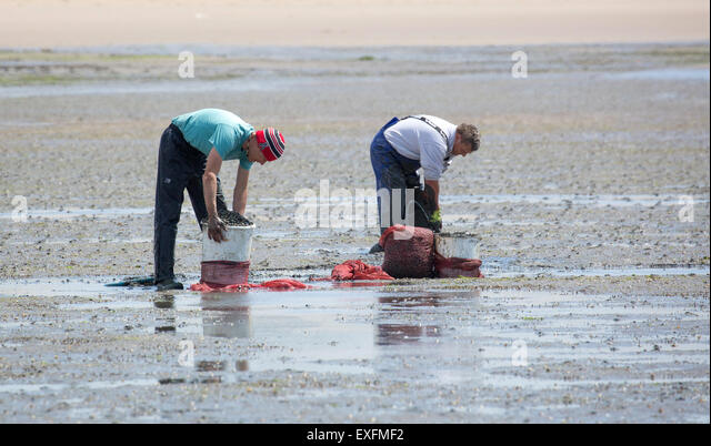 Two men digging for cockles buried in the muddy beach of Whiteford Sands on the Gower peninsula in South Wales UK - Stock Image