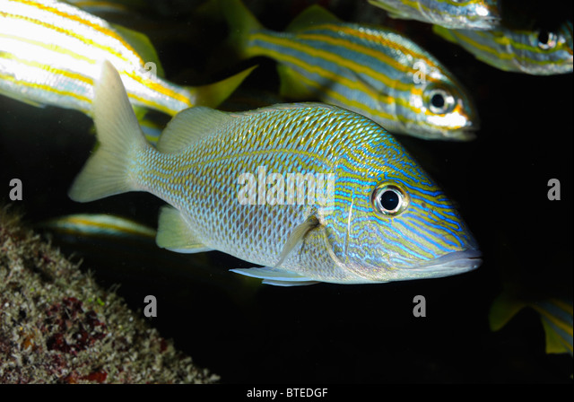 Grunt fish stock photos grunt fish stock images alamy for Whiting fish florida