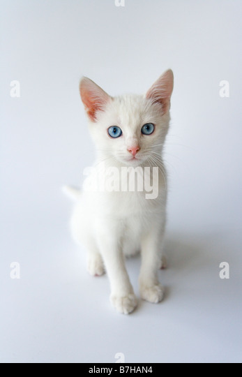 White kitten with blue eyes - Stock Image