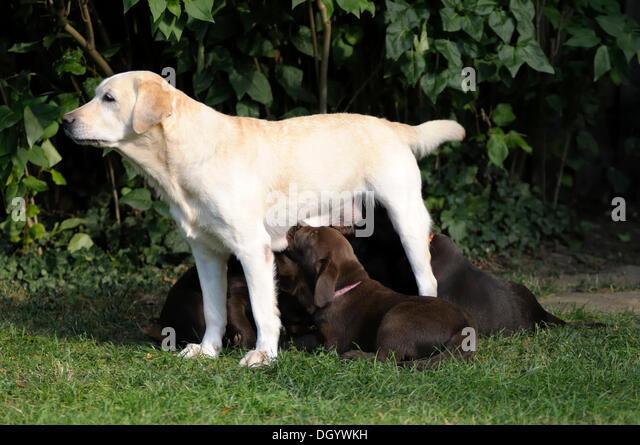 Blond Labrador Retriever suckling brown Labrador Retriever puppies - Stock Image