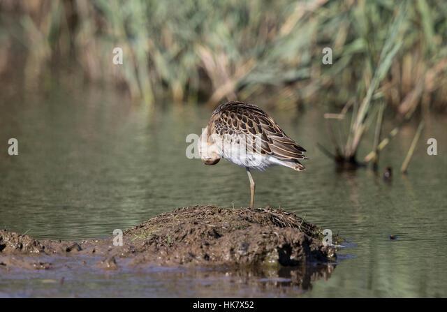 Juvenile Ruff preening, Deepdale Marsh Norfolk late summer - Stock-Bilder