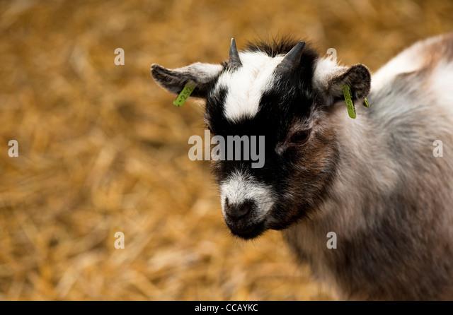 Kid Goat Uk Stock Photos & Kid Goat Uk Stock Images - Alamy