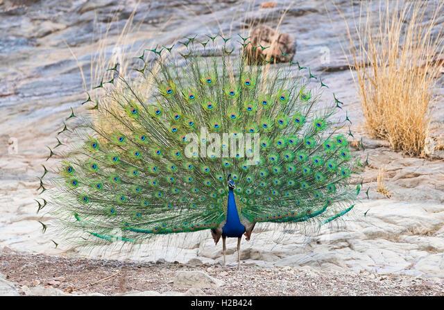 Blauer Pfau (Pavo cristatus) im Ranthambhore-Tigerreservat, Rajasthan, Indien. - Stock-Bilder
