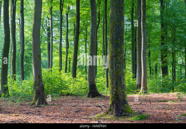 Beech Forest in Spring, Weibersbrunn, Spessart, Bavaria, Germany - Stock Image