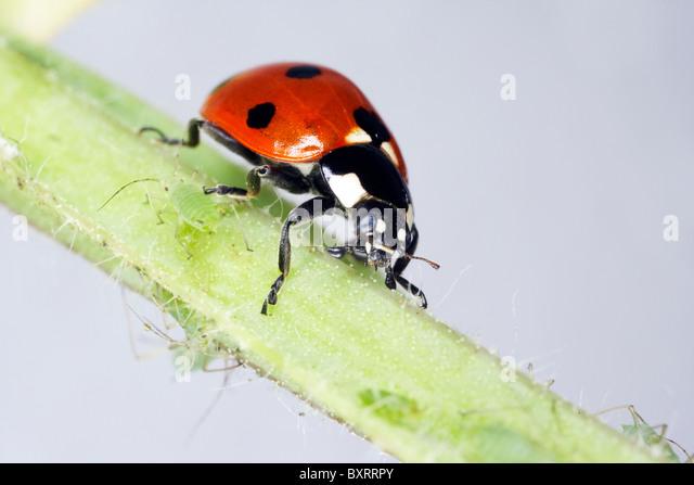 Ladybird crawling on stem - Stock Image