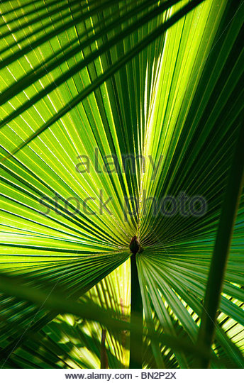 Palm detail Eilat Israel - Stock Image
