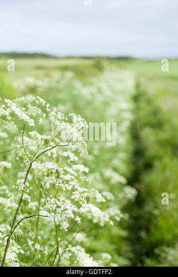 Cow Parsley, abundant white wild flowers along a footpath in the countryside in the summer time in Northumberland - Stock Image