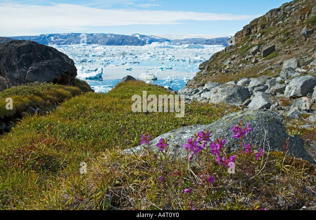 Niviarsiaq (Chamaenerion latifolium), the national flower of Greenland, Sermilik Fjord, East Greenland - Stock Image