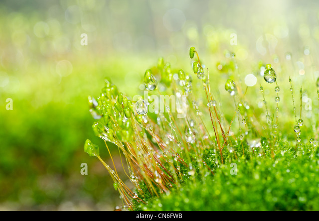 Fresh moss in green nature or in old stone or old wall - Stock Image