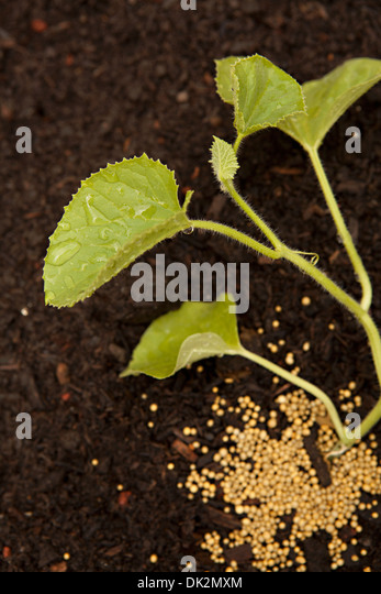 Close up high angle view of vegetable seeds and plant sprouting in soil - Stock Image
