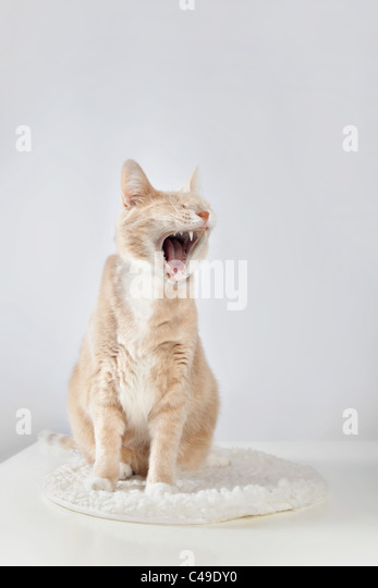 Light orange tabby cat yawning, photographed against a white studio background, sitting on a white fleece pad on - Stock Image