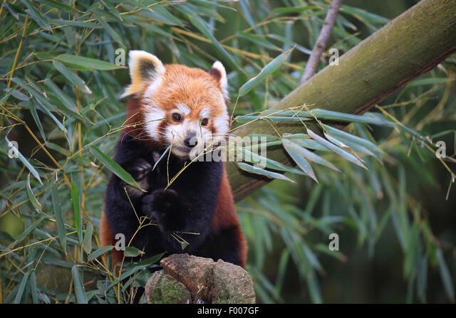 lesser panda, red panda (Ailurus fulgens), with bamboo - Stock Image