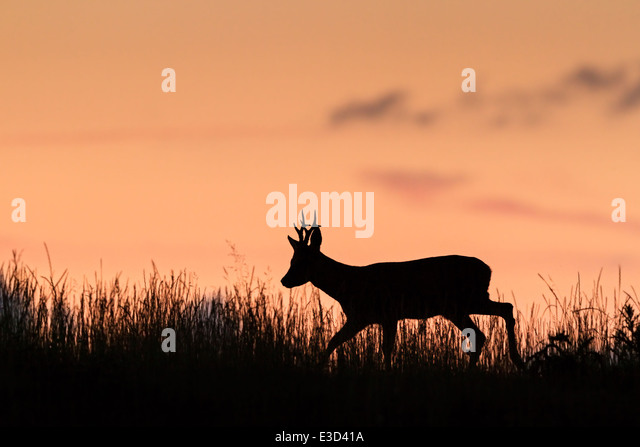 Adult Roe buck patrolling his summer territory during sunset, Norfolk, England - Stock Image