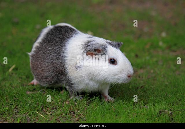 cavy, guinea pig (Cavia spec.), in meadow - Stock Image