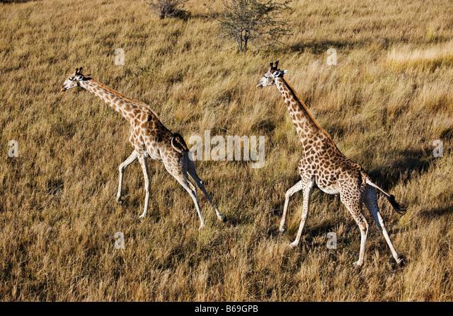 Aerial view of Southern Giraffe running over the Okavango Delta Botswana - Stock-Bilder