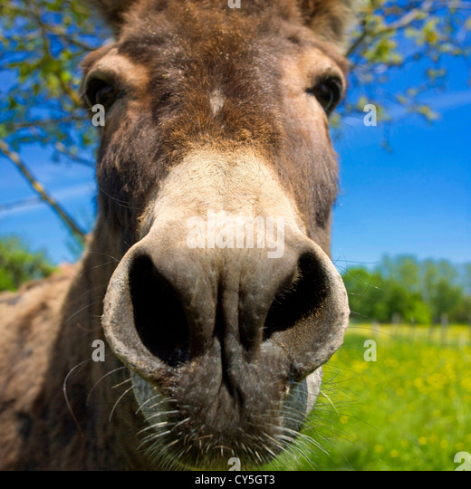 Donkey, closeup - Stock-Bilder